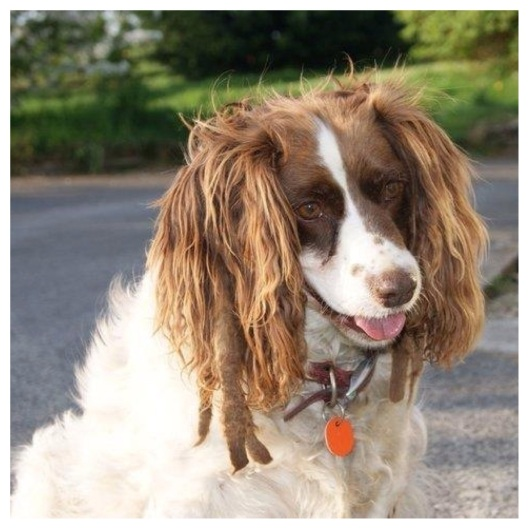 Springer Spaniel with dreads girlboydog